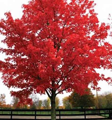 Acer-rubrum-October-Glory1-219x300
