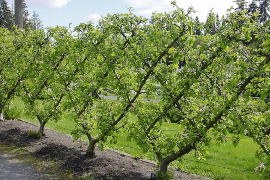 Types Of Tree Training Pruning And Shaping Sudbury Design Group